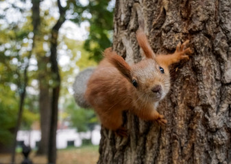 A squirrel clambers on a tree at a park in autumn foliage in Almaty