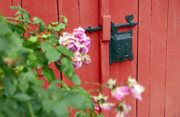 Pink roses in front of a red wooden door with an old lock