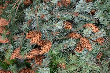 Weihnachtlicher Hintergrund aus Tannenzweigen und Tannenzapfen