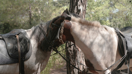 horses are grazing in the woods