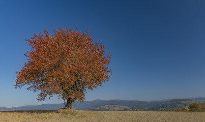 Cherry tree on dry field in autumn sunny day