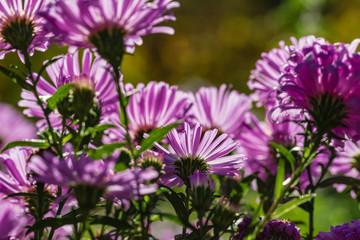 lila Asternblüten im Gegenlicht