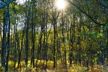 Von der Sonne beleuchteter Birkenwald im Herbst