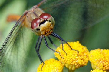 Head of a dragonfly sitting on a flower, close-up.