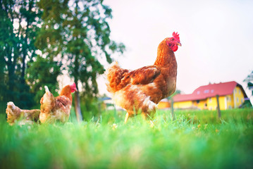 Photo sur Plexiglas Poules chickens walk free around the farmyard in the meadow
