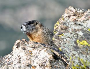 Marmot in national park