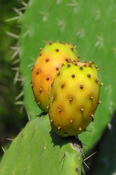 Yummy yellow fruit of the prickly pear cactus, Sardinia, Italy