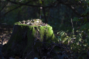Old stump covered with moss. Soft focused. Fairy forest.