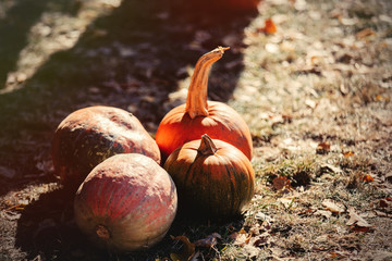 group of a yellow pumpkins on a ground. Autumn season images in natural colors