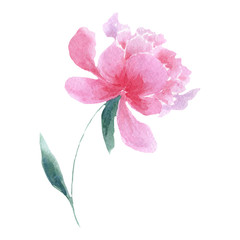 Watercolor tender pink peony flower. Floral botanical flower. Isolated illustration element. Aquarelle wildflower for background, texture, wrapper pattern, frame or border.