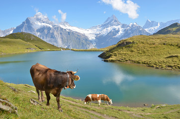 Wall Mural - Cow in Alpine meadow. Jungfrau region, Switzerland