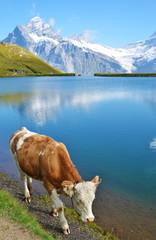 Wall Mural - Cow in Alpine meadow. Jungfrau region, Switzerland