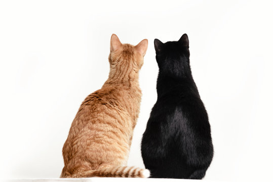 Two cats black and red back to camera on white background.