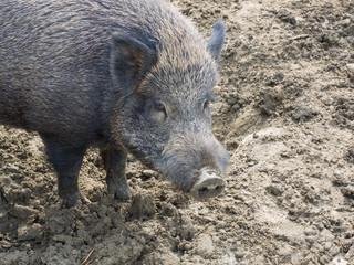 Portrait of a female adult wild boar (wild swine)