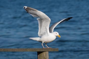 seagull in takeoff