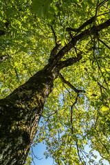 Nussbaum von unten