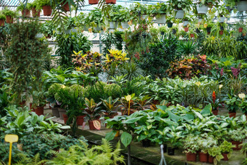 Flowers and plants for sale inside a greenhouse   -