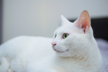 Cute White Cat lying on Bed