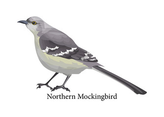 Northern mockingbird realistic exotic with grey beak