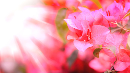 pink blossom with bright light cool photo background