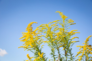 goldenrod and sky