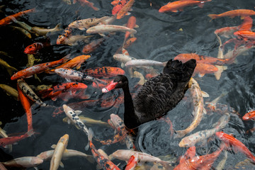 black duck swimming on pond with golden koi carp fish -