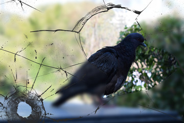pigeon on the windowsill behind broken glass, peeks into the house