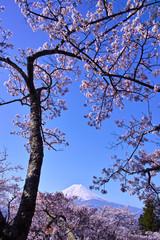 新倉山ハイキングコースから見る満開の桜と富士山