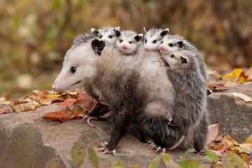 Virginia Opossum mother and young Tekiela