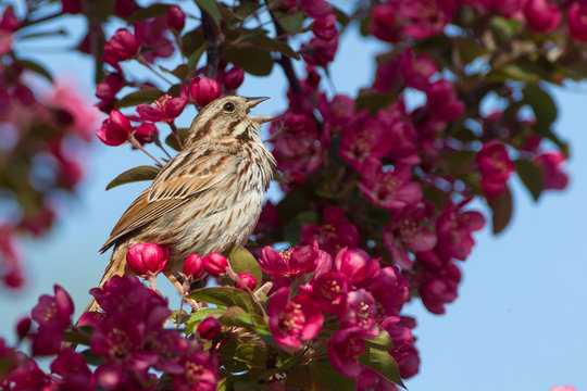 Song Sparrow taken in southern MN