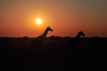 Two wild giraffe on sunset in African savannah