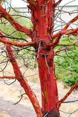 Twisted gnarled peeling madrona tree