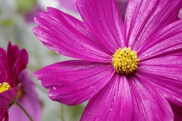 コスモスの花びらの上の水滴