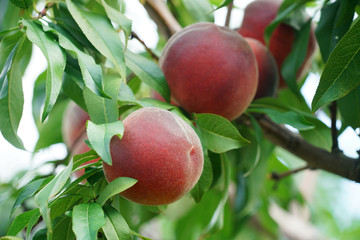 close up on peaches on the branch