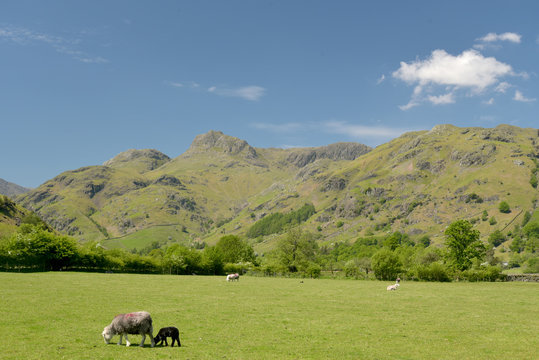 Sheep grazing in Great Langdale, Lake District