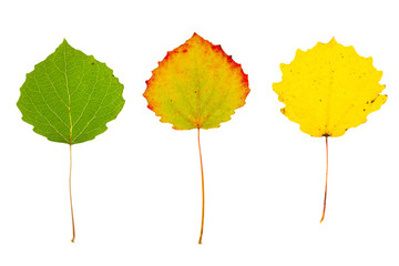 Three autumn aspen leaves on isolated