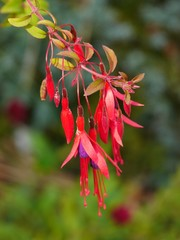 Cluster of pendant pink / red fuchsia flowers
