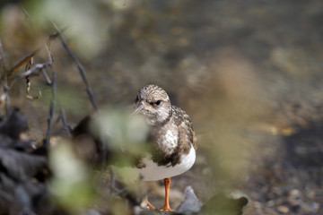 Beautiful turnstone closeup