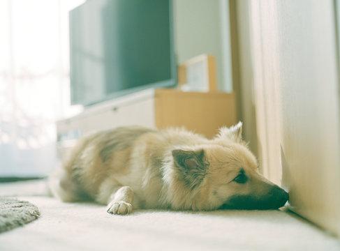 主人の寝起きを待つ犬