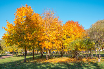 Maple trees in the park in autumn.