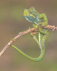 Adult African chameleon on branch