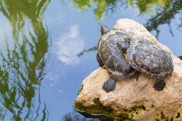Turtles standing on a stone in the water