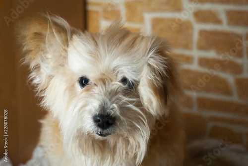 Shaggy Dog Puppy Red Color Stock Photo And Royalty Free Images On