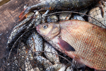 Trophy fishing. Big freshwater common bream fish on landing net..