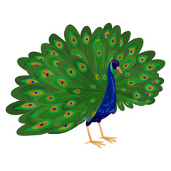 Peacock icon. Cartoon of peacock vector icon for web design isolated on white background
