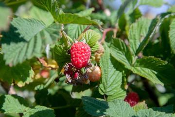 Ripe and unripe raspberry in fruit garden. Growing natural bush of raspberry. Branch of raspberry in sunlight.