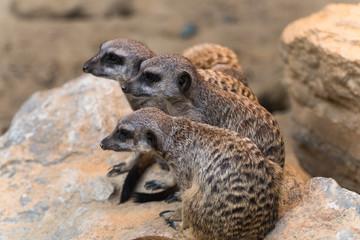 Gruppe von Erdmännchen sitzt auf einem Stein und schaut nach links