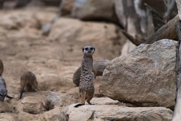 Erdmännchen steht auf einem Stein und blickt nach hinten in die Kamera