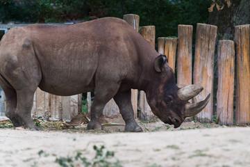 Nashorn im Tierpark, Profilansicht