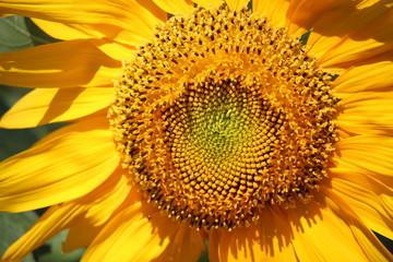 Sunflower in The Summer